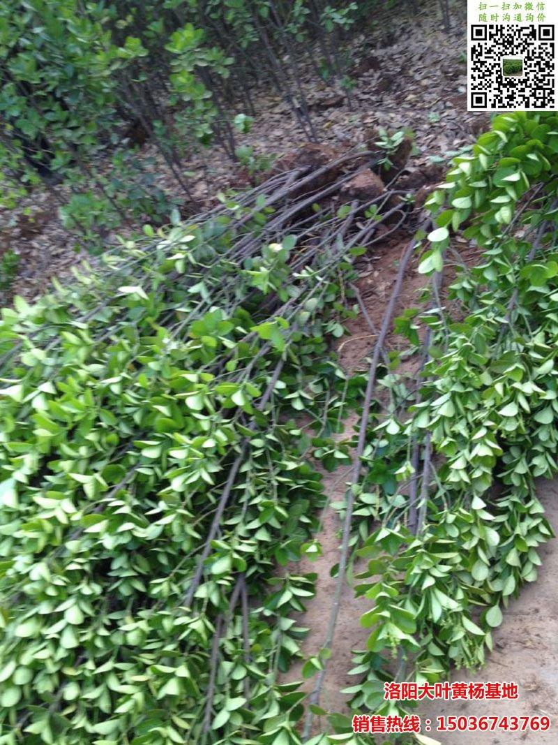 北海道黄杨正在起苗
