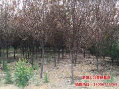 米径4公分-6公分紫叶李
