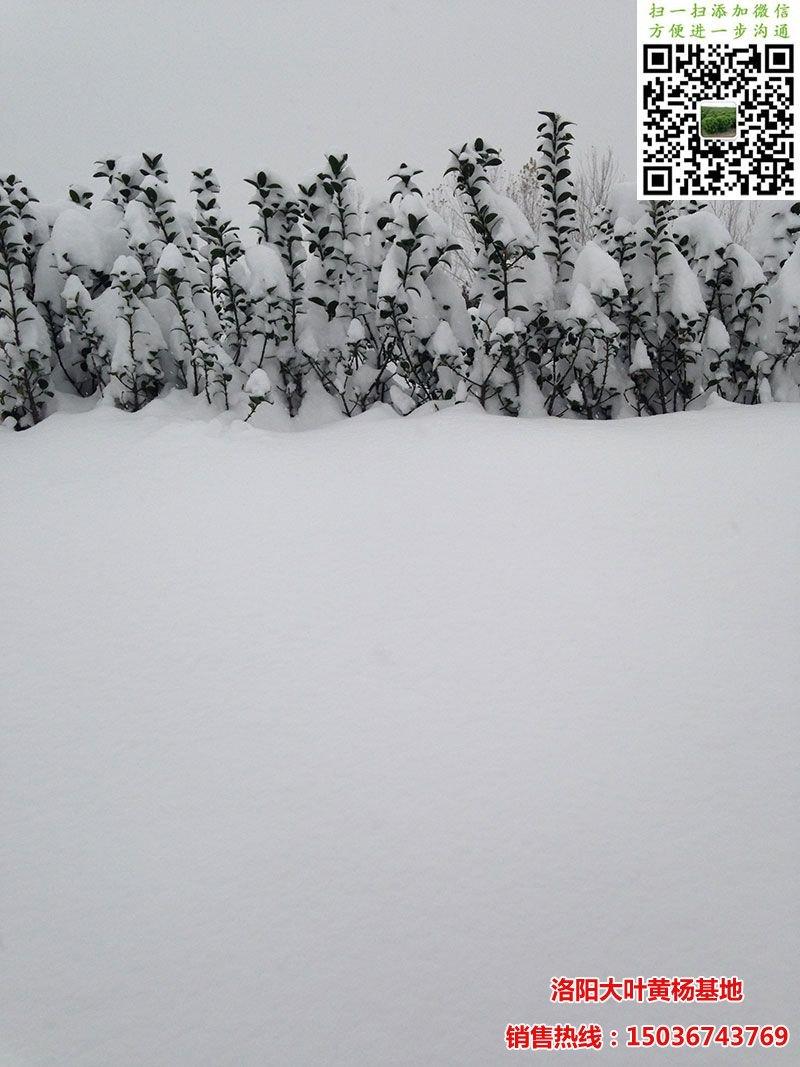 雪中大叶黄杨绿篱