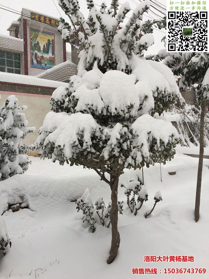 雪中的造型黄杨