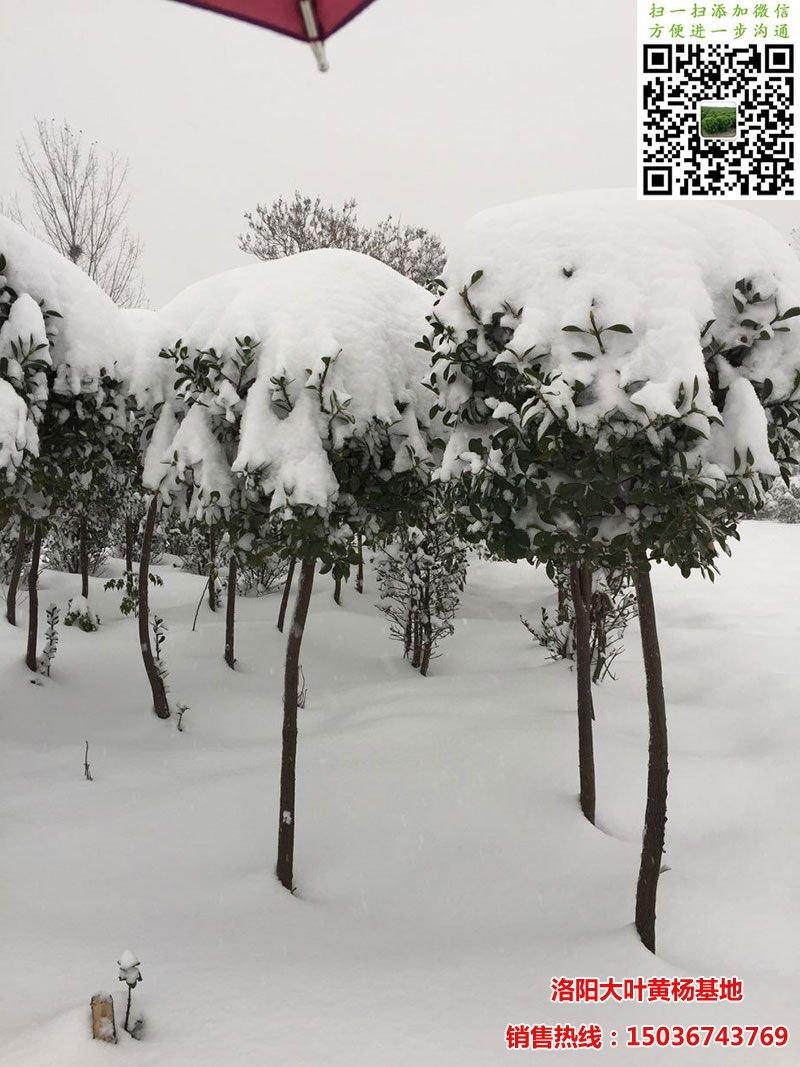 雪中的高杆黄杨球