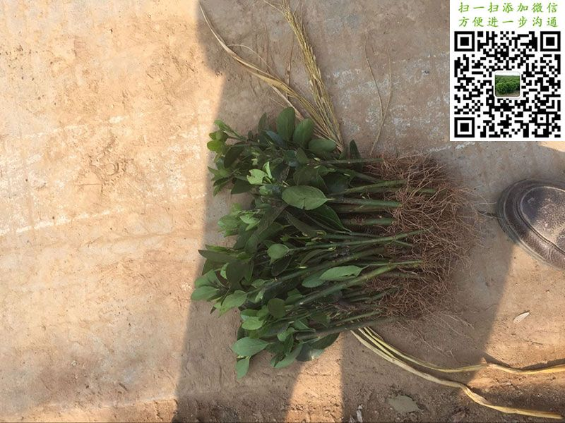 单捆大叶黄杨扦插苗