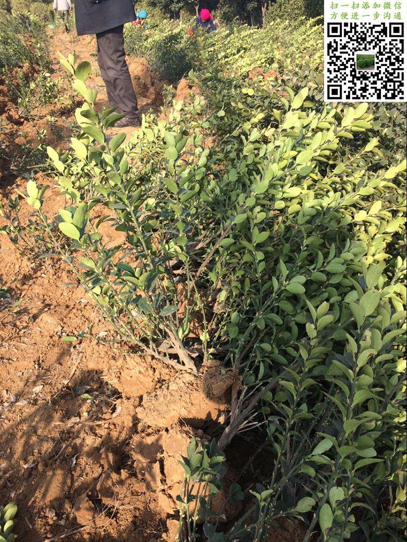 三棵大叶黄杨单独拍摄