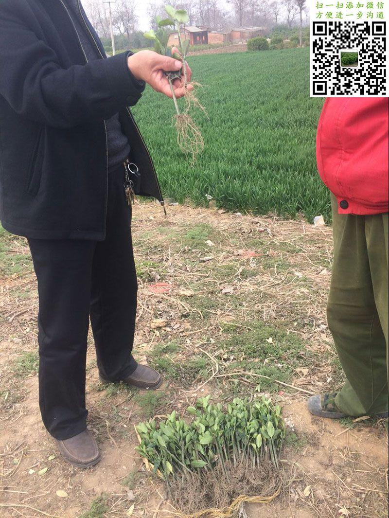 大叶黄杨小苗