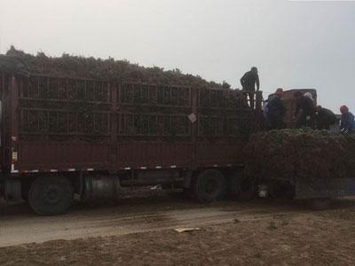 大叶黄杨工程苗高度60公分以上【视频】