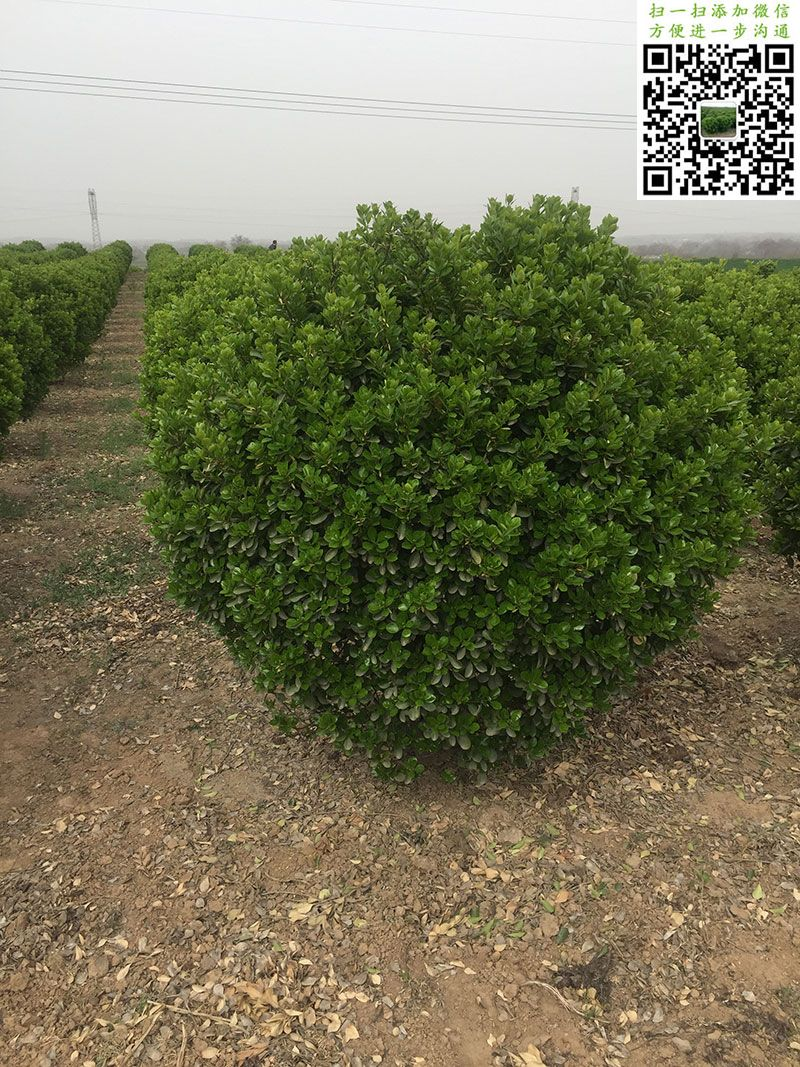 150公分大叶黄杨球