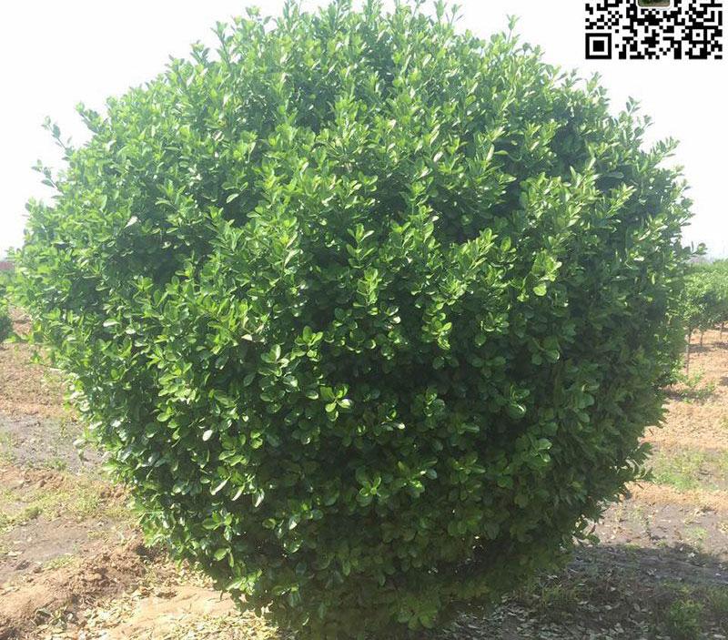 2.3米大叶黄杨精球