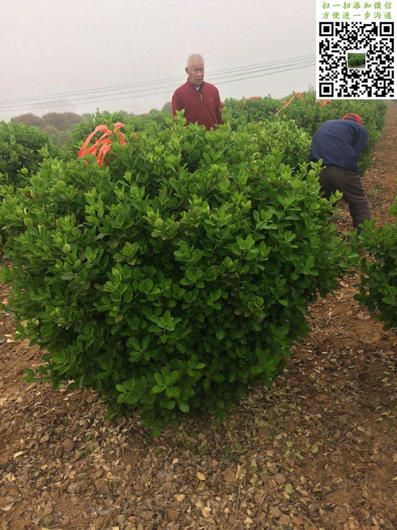 1.2米大叶黄杨球