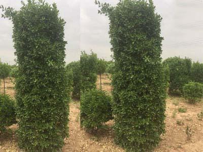 冠幅90-100公分高度3米以上大叶黄杨柱