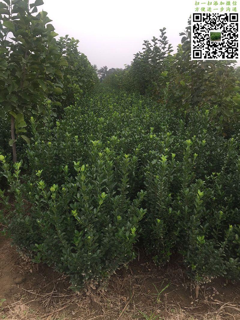 高度60公分大叶黄杨绿篱