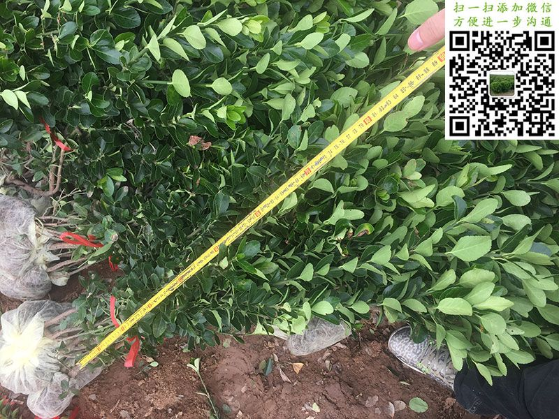 高度80公分大叶黄杨小毛球