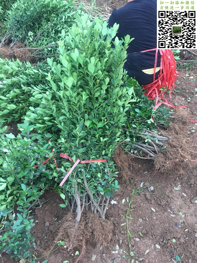 大叶黄杨绿篱苗