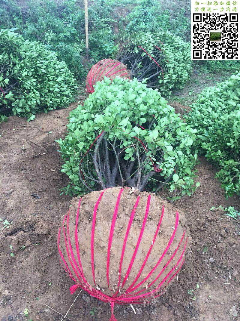 2米大叶黄杨球