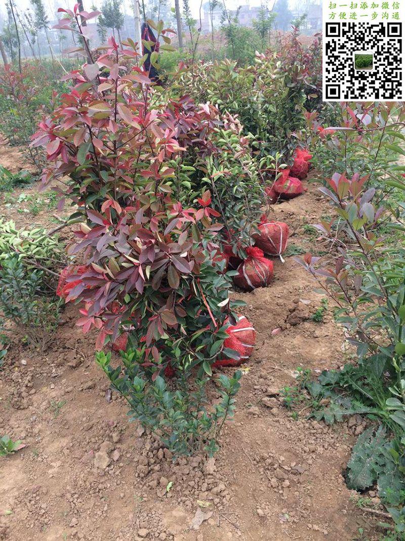 冠幅60-70公分红叶石楠毛球