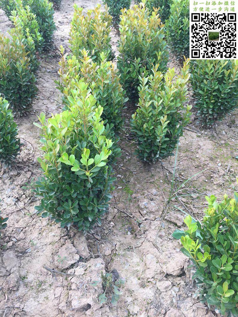 小叶黄杨绿篱苗