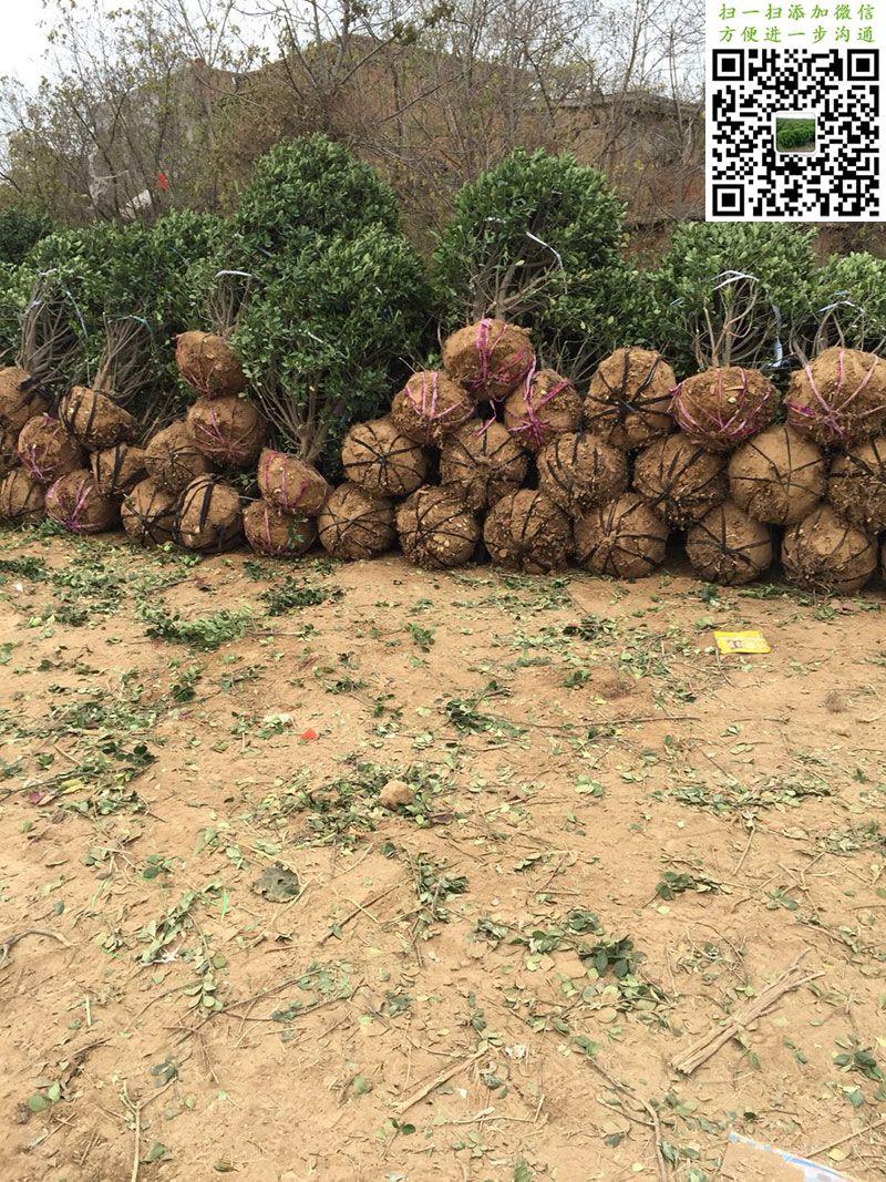 1.2米大叶黄杨精球
