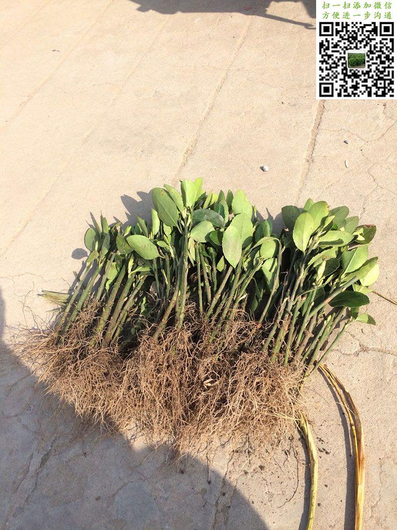 大叶黄杨扦插苗