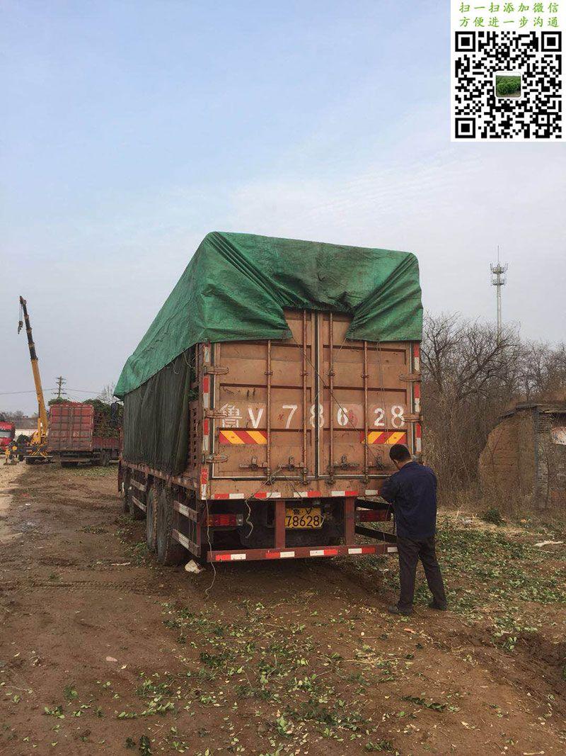 1.2米大叶黄杨球装车