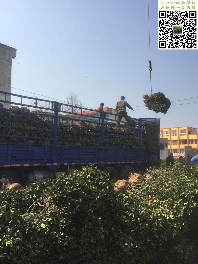 偃师市邙岭镇好景苗木园艺场