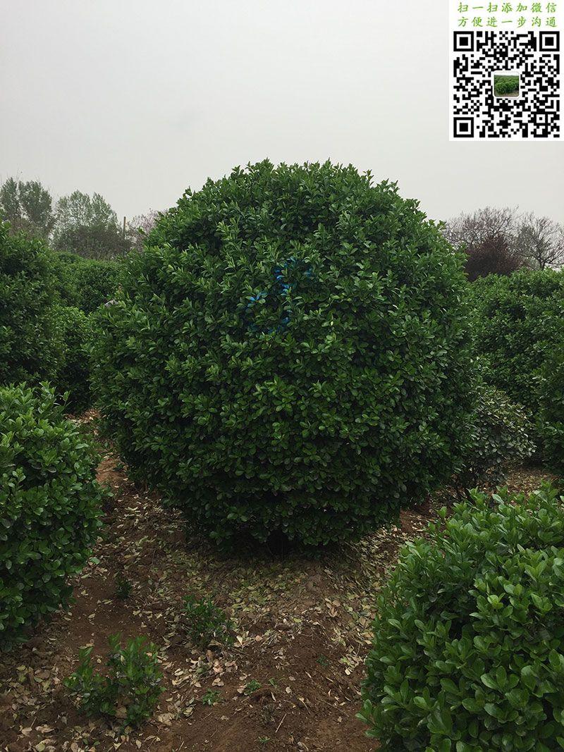 2.5米大叶黄杨球