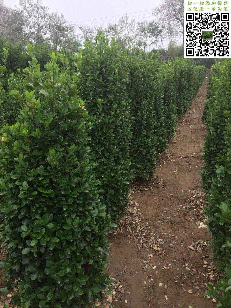 1.5米大叶黄杨柱