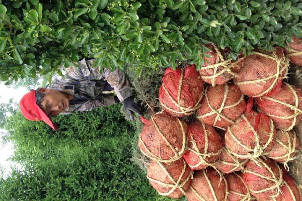 大叶黄杨土球网袋包扎