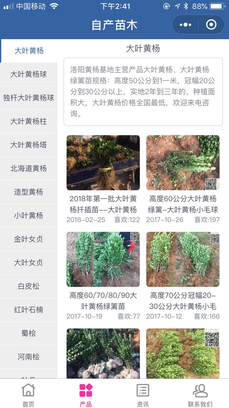 大叶黄杨小程序自产苗木
