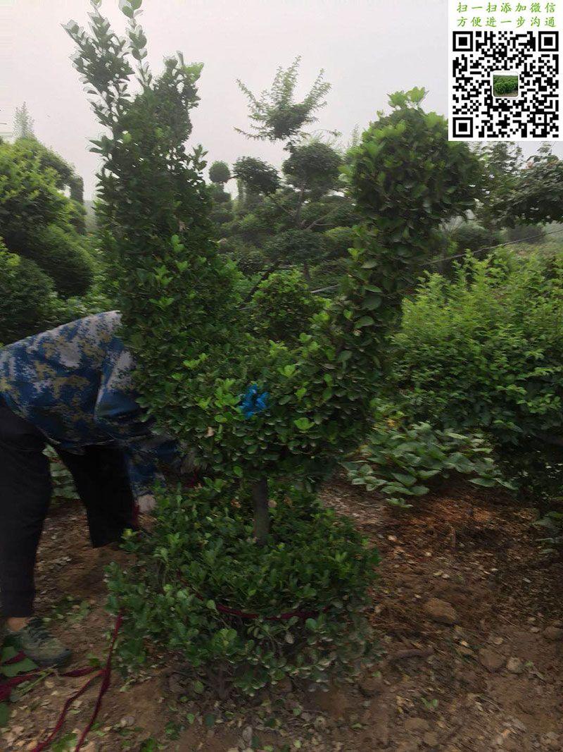 造型大叶黄杨-动物