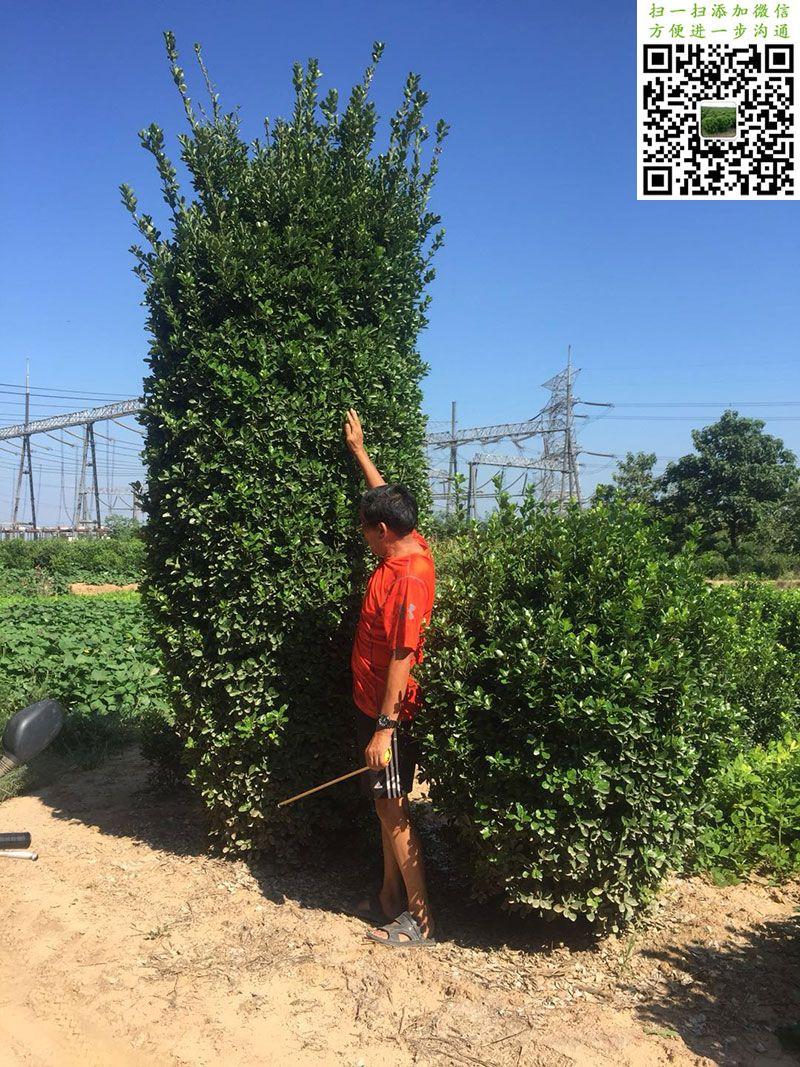高度3米大叶黄杨柱