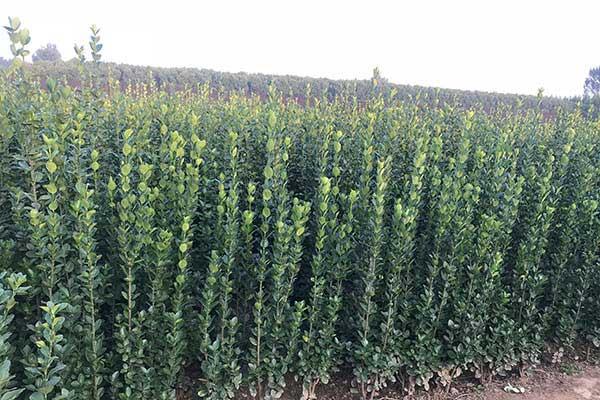 丛生北海道黄杨-冠幅30公分高度1.5米北海道黄杨