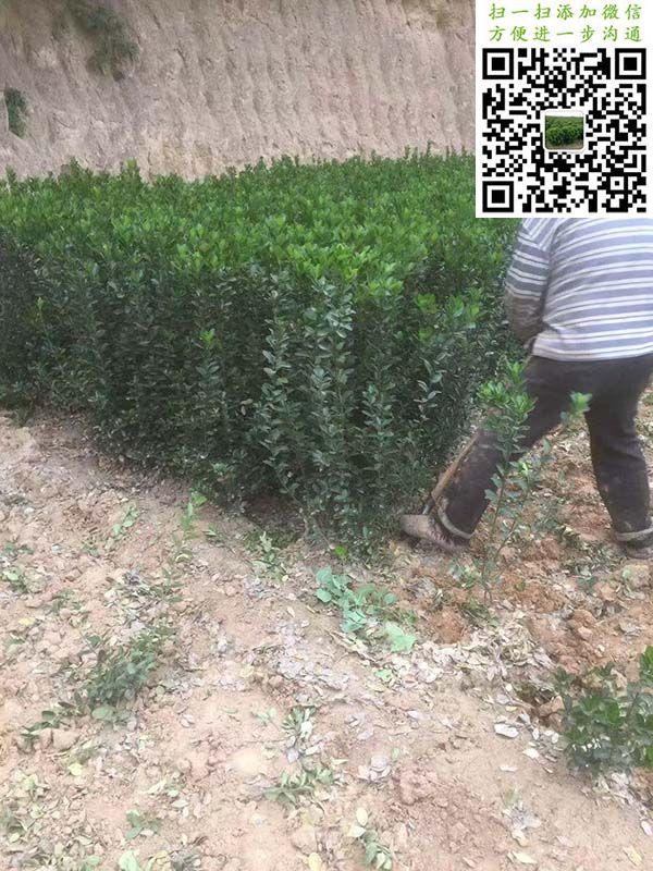 高度70公分大叶黄杨绿篱苗