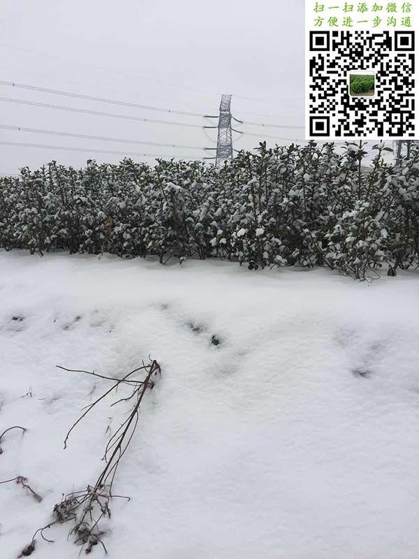 雪中大叶黄杨