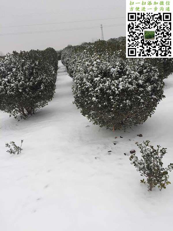 雪中大叶黄杨球