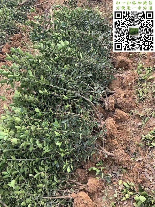大叶黄杨绿篱苗三角土球