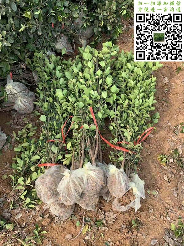 大叶黄杨绿篱苗三角土球加无纺布包装