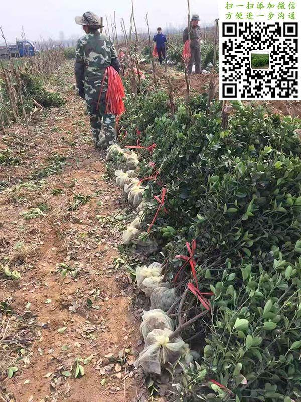 大叶黄杨绿篱苗三角土球加无纺布包装过水