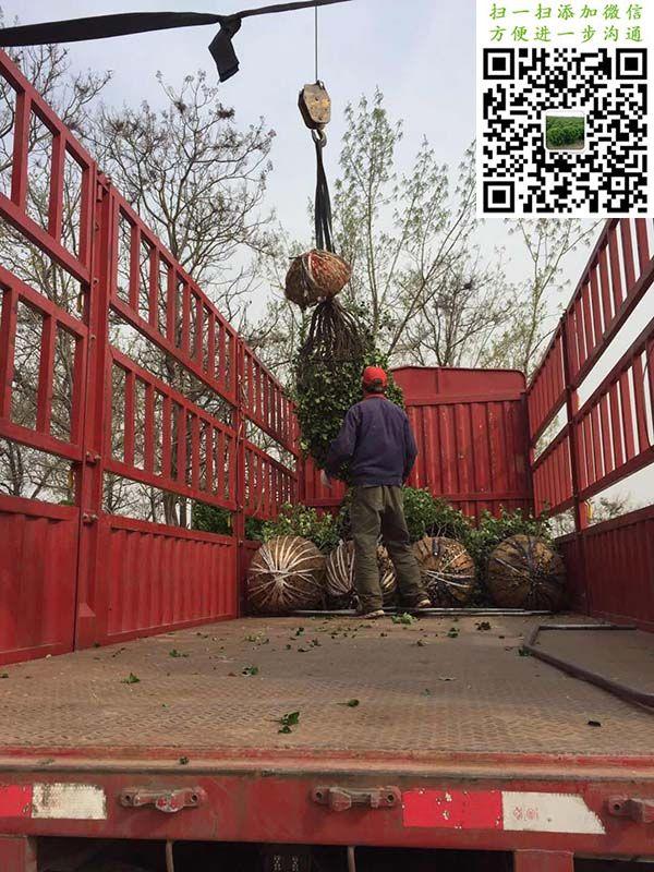 1.8米大叶黄杨球