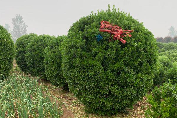 2米大叶黄杨选苗起苗装车汇总