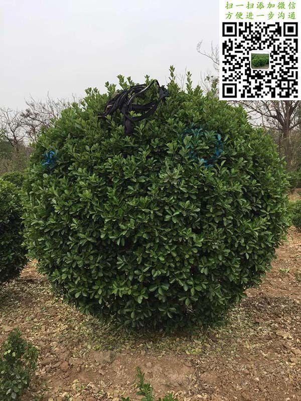 2米大叶黄杨球选苗