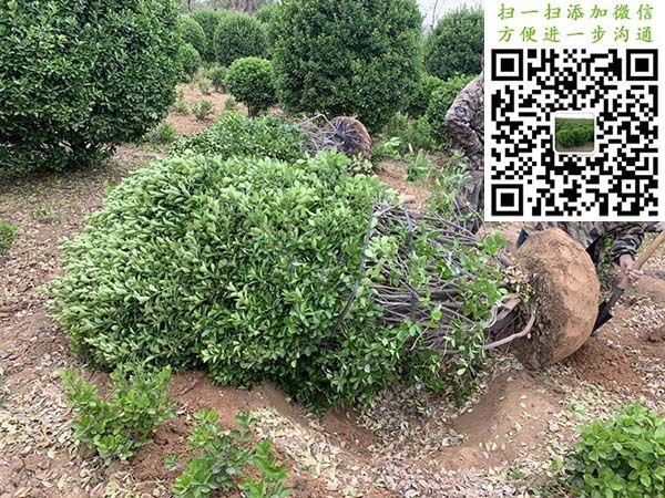 2米大叶黄杨球挖苗