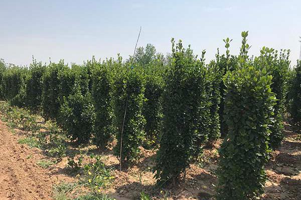 1.2米大叶黄杨柱高度1.2-1.4米冠
