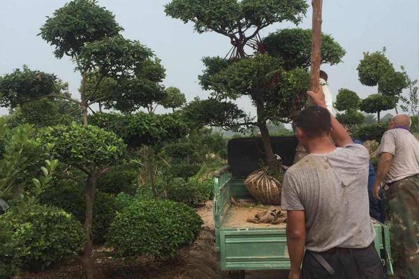 造型大叶黄杨