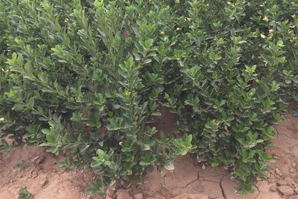 大叶黄杨水肥一体化