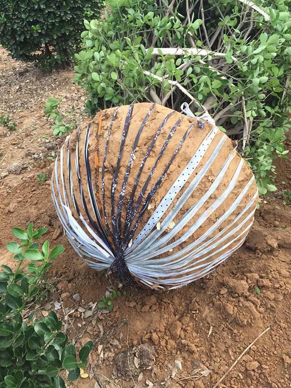 70公分土球布条包装