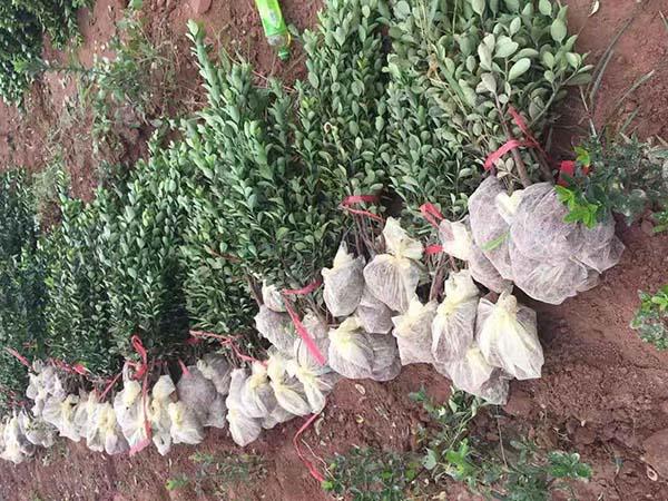 大叶黄杨无纺布起苗