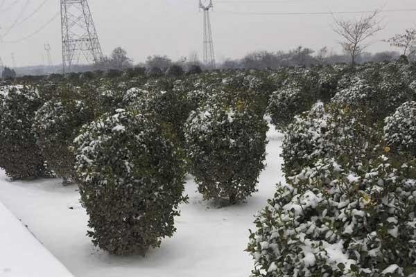 冬季栽植大叶黄杨