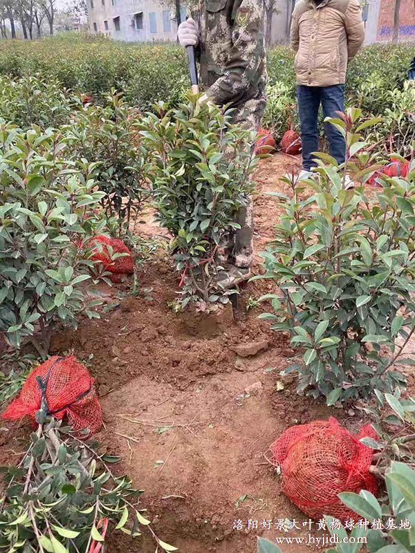红叶石楠起苗