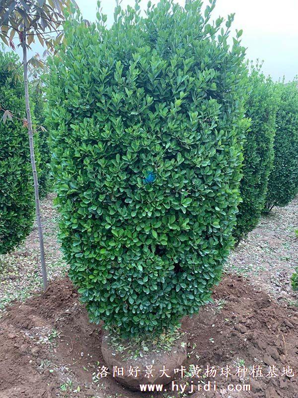 冠幅1.2米大叶黄杨柱起苗