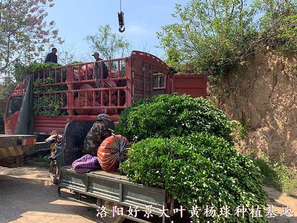 冠幅1.2米大叶黄杨柱装车