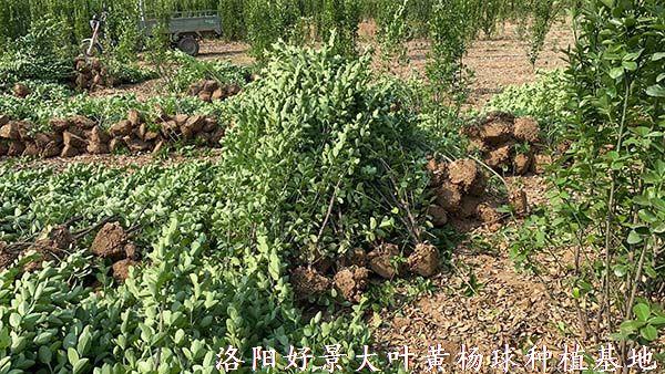 1.8米北海道黄杨